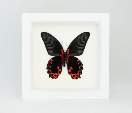 Framed Papilio rumanzovia white frame