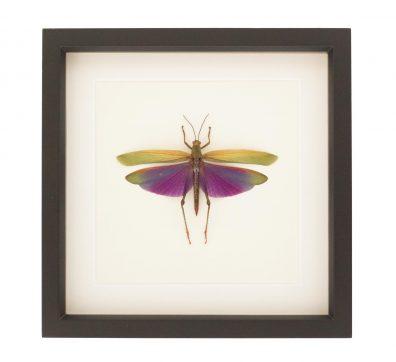Framed Grasshopper Titanacris albipes