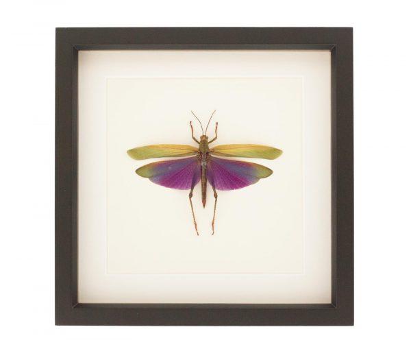 framed purple grasshopper