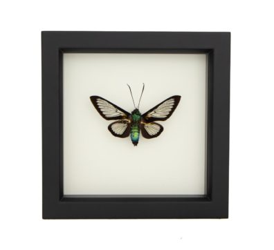 moth taxidermy art