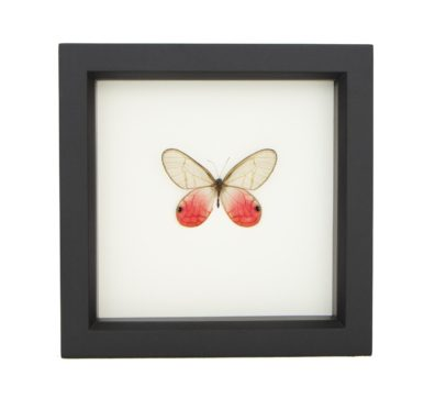 Framed Pink Glasswing Butterfly (Cithaerias merolina)