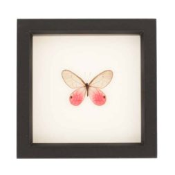 framed pink glasswing