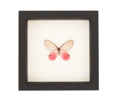 framed pink glasswing
