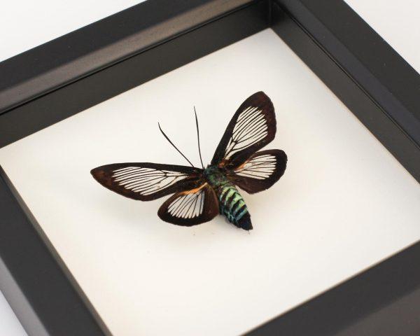 preserved moth specimen