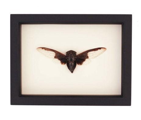 batwing cicada