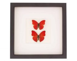 red butterfly display set