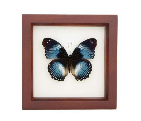 framed blue diadem display