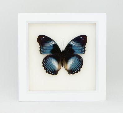 Framed Blue Diadem Butterfly (Hypolimnius salmacis)