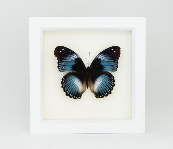 taxidermy butterfly for sale