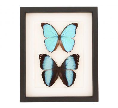 Blue Morpho Butterfly Set