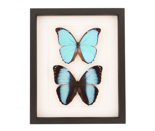 blue morpho collection