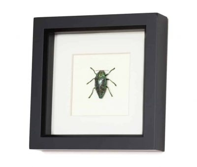 beetle shadowbox