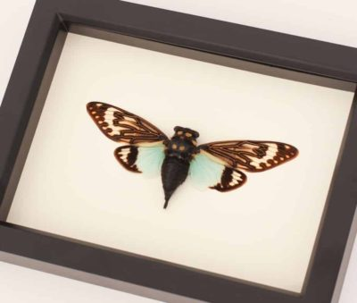 cicada bug under glass