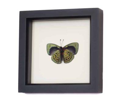 framed butterflies darwin