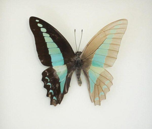 butterfly frame skeleton