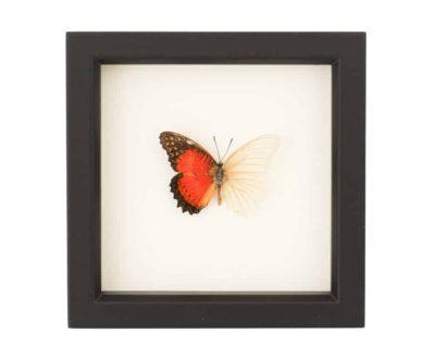 butterfly oddity