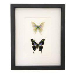 butterfly oddity curiosities