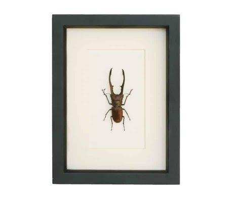 shadowbox beetle