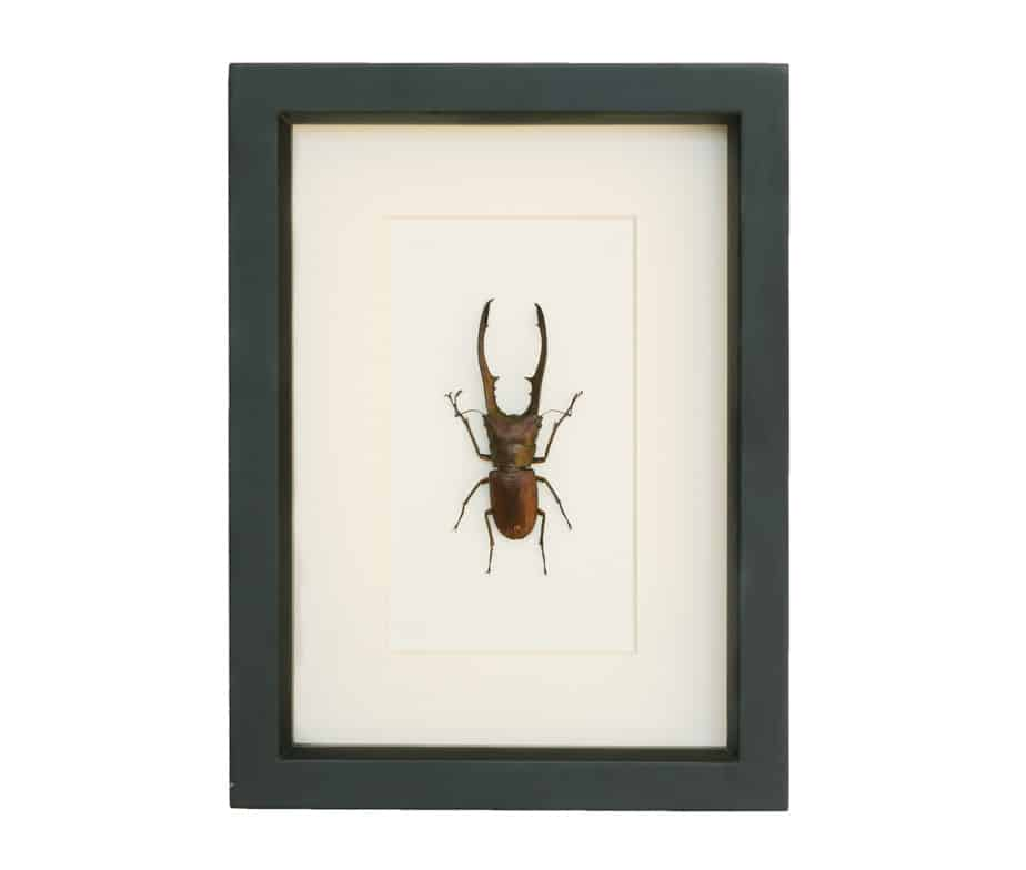 shadowbox beetle