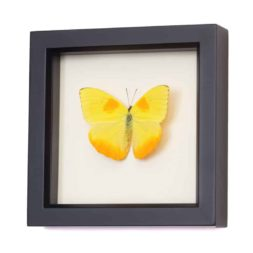 framed butterfly specimen