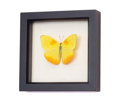 framed butterfly specimen