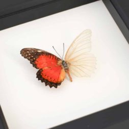 framed butterfly oddity