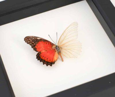framed butterfly oddity