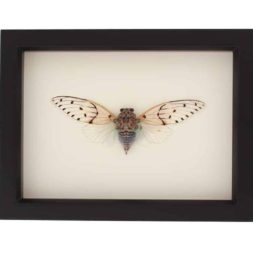 framed ghost cicada
