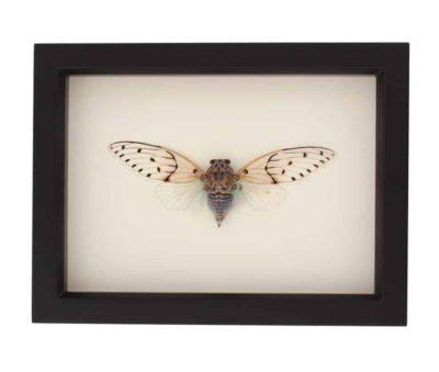 framed ghost cicada