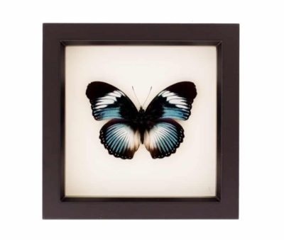 taxidermy butterfly