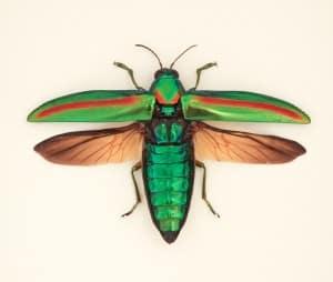 framed jewel beetle