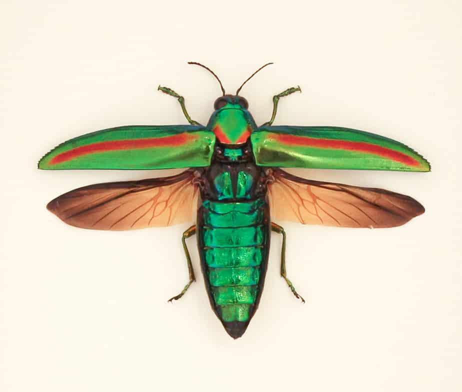 framed jewel beetle display | Chrysochroa rajah | Bug Under Glass