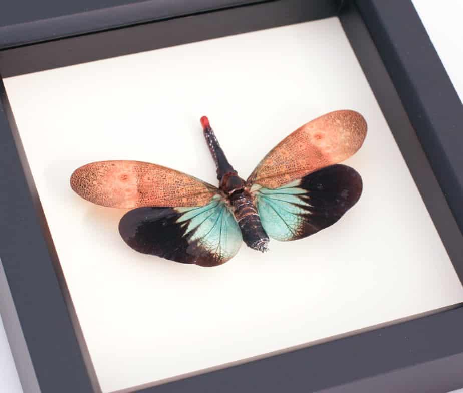 framed lanternfly