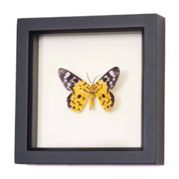 moth shadowbox