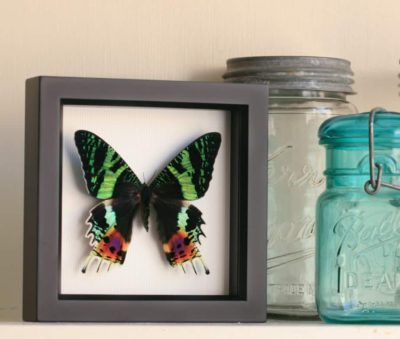 framed preserved moth