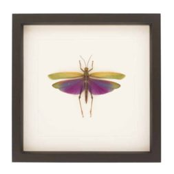 framed grasshopper