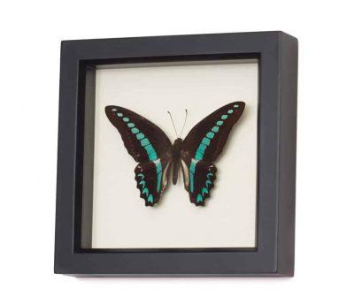 butterfly artwork graphium sarpedon