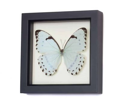 morpho catenarius real butterfly display