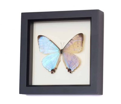 morpho sulkowski butterfly display case