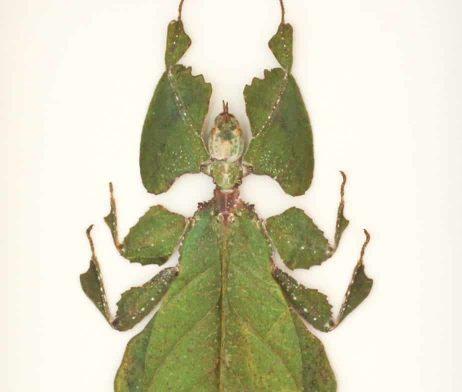 phyllium giganteum insect specimen