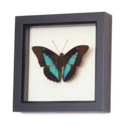 frame butterfly