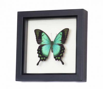 preserved butterflies