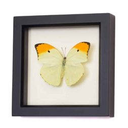 real butterflies in frames