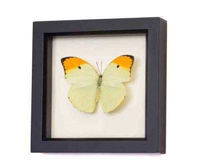 real butterflies in frames