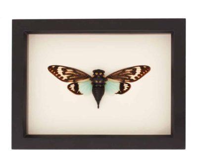 real cicada art display