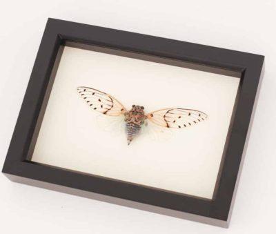 real cicada display