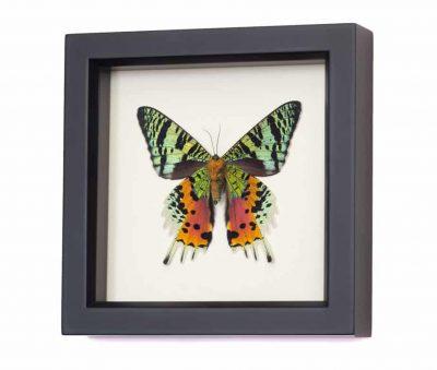 framed sunset moth