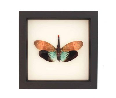 shadowbox insect