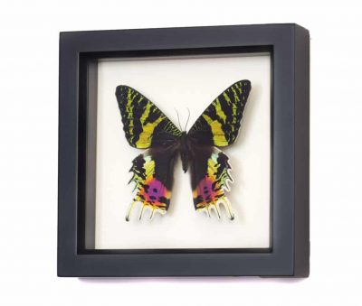 madagascan sunset moth for sale