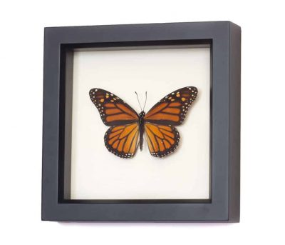 real framed monarch butterfly
